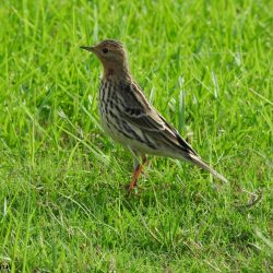 The red-throated pipit