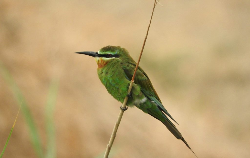 Blue-cheeked Bee eater