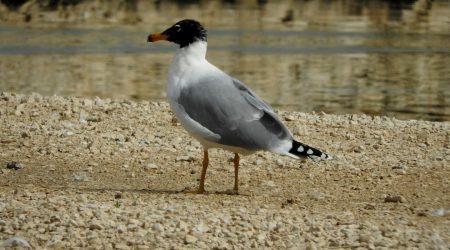 Pallas's Gull ad. winter bird
