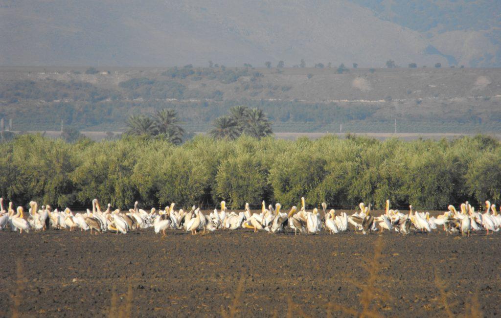 שקנאים בשדה דוד