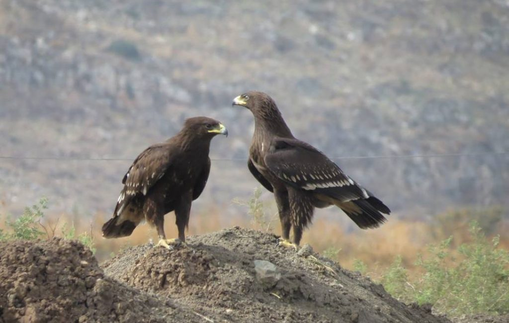 Greater Spotted Eagles
