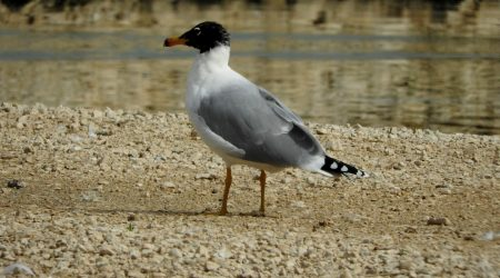 Pallas's Gull ad. winter bird