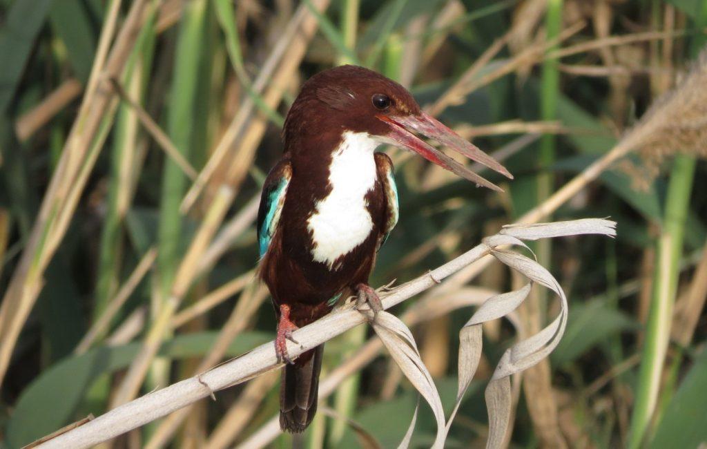 White - throated Kingfisher