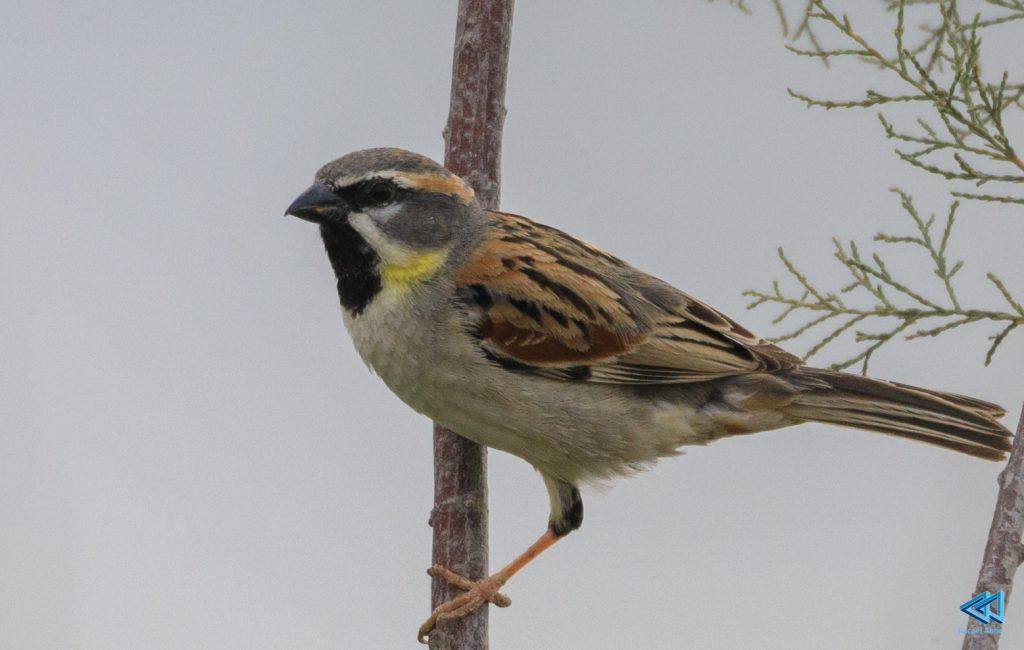 דרור ירדן .  Dead See Sparrow